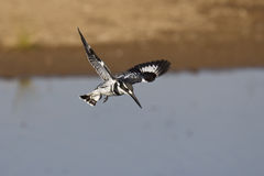 Gescheckte Eisvogel-Jagd Stockfotos