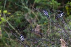 Gescheckte Eisvogel-Vögel drei lizenzfreies stockfoto