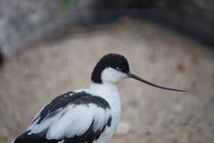 Gescheckter Avocet - Recurvirostra avosetta lizenzfreie stockfotografie