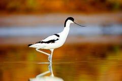 Gescheckter Avocet, Recurvirostra avosetta lizenzfreies stockbild