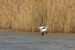 Gescheckter Avocet/Recurvirostra avosetta Stockbilder