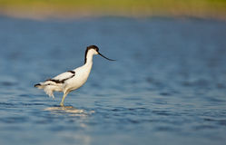 Gescheckter Avocet (Recurvirostra avosetta) Stockfotos