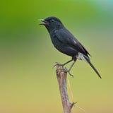 Gescheckter Bushchat-Vogel Stockbilder