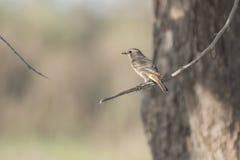 Gescheckter Bushchat-Vogel Stockfotografie