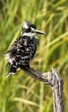 Gescheckter Eisvogel Lizenzfreies Stockbild