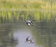 Gescheckter Eisvogel stockbilder