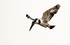 Gescheckter Eisvogel Stockfotos