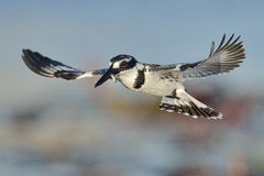 Gescheckter Eisvogel, der über Wasser mit einem Fisch schwebt Stockfotos