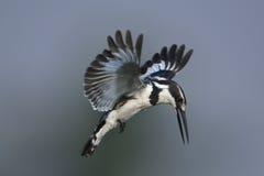 Gescheckter Eisvogel, der über Wasser schwebt Lizenzfreie Stockfotos