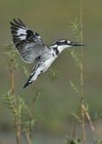 Gescheckter Eisvogel, der über Wasser schwebt Lizenzfreies Stockfoto