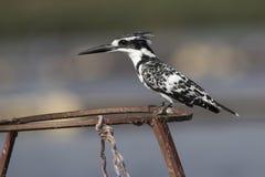 gescheckter Eisvogel, der auf Metall sitzt, stützt sich auf See stockfoto