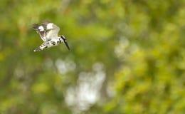 Gescheckter Eisvogel, der mit unscharfem Hintergrund schwebt stockbilder