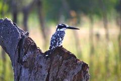 Gescheckter Eisvogel in Okavango-Delta, Botswana Stockfotos