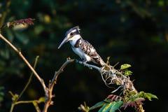 Gescheckter Eisvogel-Vogel-Baum stockfotos