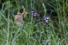 Gescheckter Eisvogel-Vogel-Baum lizenzfreie stockfotos