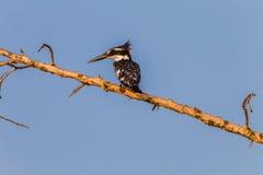 Gescheckter Eisvogel-Vogel-Zweig stockfoto