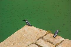 Gescheckter Eisvogel zwei Stockfoto