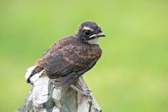 Gescheckter Fantailvogel Lizenzfreie Stockfotos