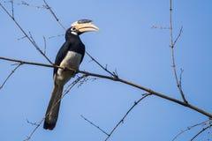 Gescheckter Hornbill Malabar auf Bambus Lizenzfreies Stockbild