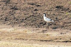 Geschecktes Avocet Recurvirostra avosetta Schwarzweiss-Stelzvogel-Vogel lizenzfreie stockbilder