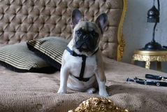 Geschecktes Porträt der französischen Bulldogge des Kitzes Stockbilder