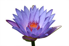 Gescheiden Purpere lotusbloembloem royalty-vrije stock afbeeldingen