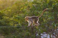 Geschickter Affe, der auf den elektrischen Draht im Dschungel geht Stockfotos