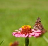 Geschilderd Dame Butterfly Stock Foto