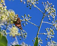 Geschilderd Dame Butterfly Royalty-vrije Stock Fotografie