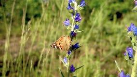 Geschilderd Dame Butterfly op bloem stock videobeelden