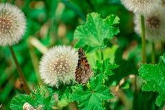 Geschilderd Dame Butterfly op Groen Blad door Paardebloem royalty-vrije stock foto's