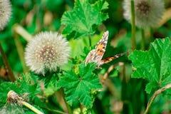 Geschilderd Dame Butterfly op Groen Blad door Paardebloem royalty-vrije stock afbeelding