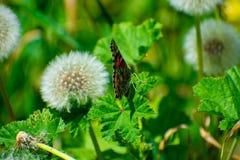 Geschilderd Dame Butterfly op Groen Blad door Paardebloem stock afbeeldingen