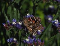 Geschilderd Dame Butterfly Or Vanessa Cardui On Statice Stock Foto