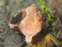 Geschilderd frogfish Stock Foto's