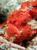 Geschilderd frogfish verborgen in duidelijke mening royalty-vrije stock afbeeldingen
