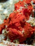 Geschilderd frogfish verborgen in duidelijke mening stock fotografie