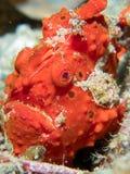Geschilderd frogfish verborgen in duidelijke mening stock foto's