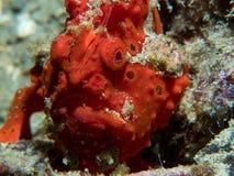 Geschilderd frogfish verborgen in duidelijke mening stock afbeelding