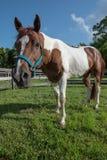 Geschilderd Paard die camera bekijken Stock Foto