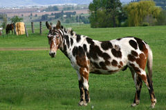 Geschilderd Paard in een groen weiland Stock Afbeeldingen