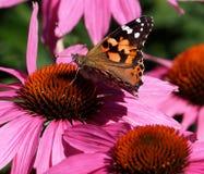 Geschilderde Damebutterfly or Vanessa Cardui On Purple Cone Bloem Royalty-vrije Stock Afbeelding