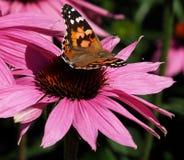 Geschilderde Damebutterfly or Vanessa Cardui On Purple Cone Bloem Stock Afbeeldingen
