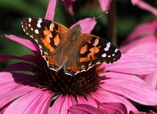 Geschilderde Damebutterfly or Vanessa Cardui On Purple Cone Bloem Stock Foto