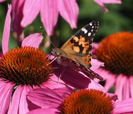 Geschilderde Damebutterfly or Vanessa Cardui On Purple Cone Bloem Royalty-vrije Stock Foto
