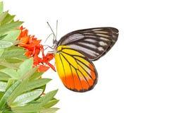 Geschilderde die Jezebel Vlinder (indica Delias hyparete) op witte achtergrond wordt geïsoleerd royalty-vrije stock fotografie