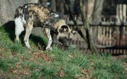 Geschilderde Hond Royalty-vrije Stock Foto's