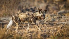 Geschilderde hond in Zuid-Afrika stock afbeelding