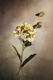 Geschilderde Hydrangea hortensia's Stock Afbeeldingen