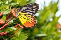 Geschilderde Jezebel (indica Delias hyparete) Vlinder stock foto's